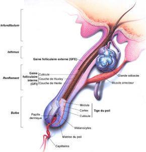 anatomie-cuir-chevelu-tunisie